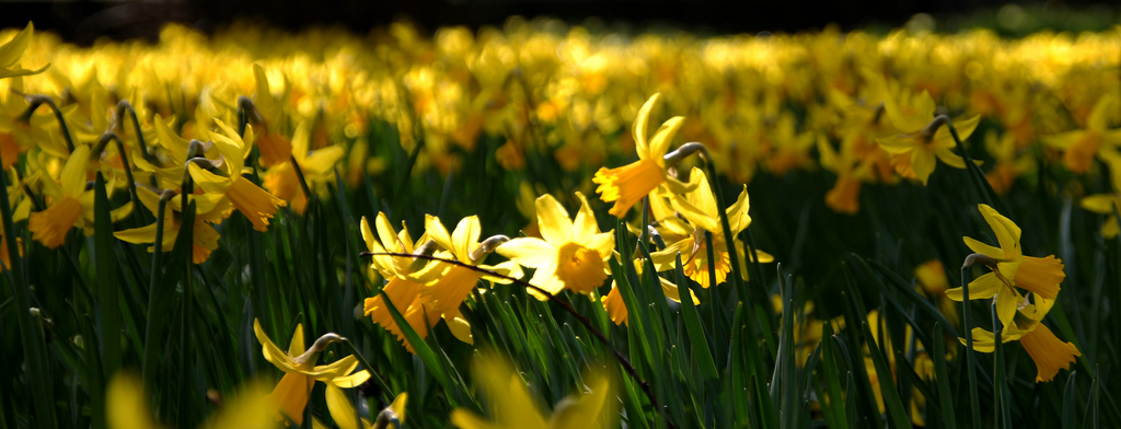 a meadow filled with blooming daffodils, a sea of spring yellow